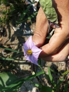 賀茂ナスの花です。